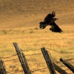 crow-hunting