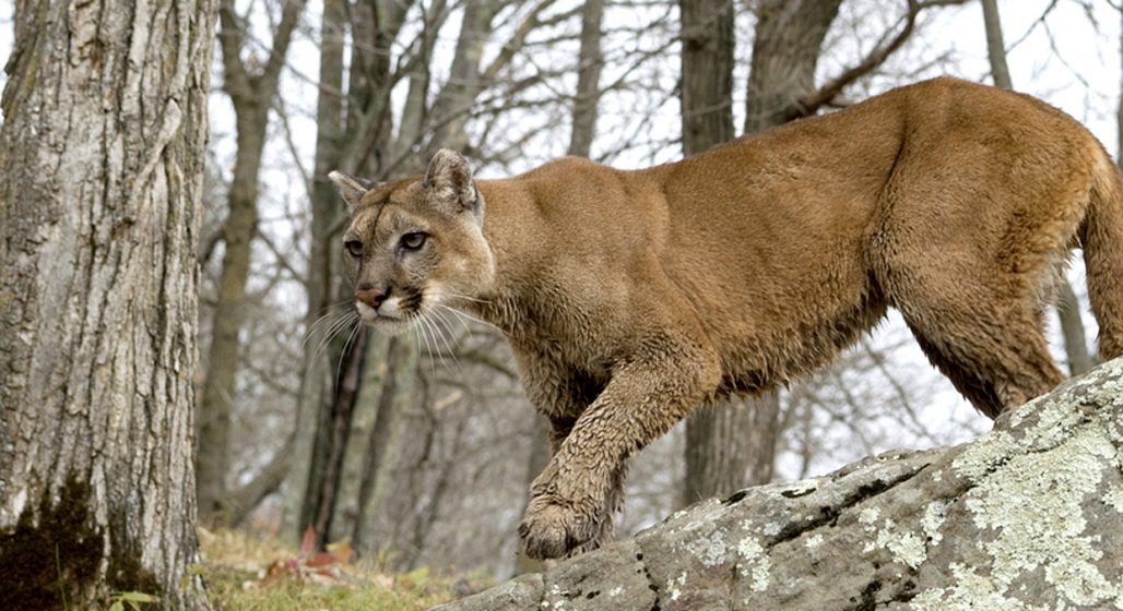mountain lion habitat range with Cougar Killed Near Bracebridge on Lions Habitat furthermore 12 Cute Baby Animals Bring Fresh Mood together with Cougars In Tennessee Fact Or Fiction together with Cougar in addition Wildlife Officials Deny Mountain Lions Are Back In The Blue Ridge Mountains.