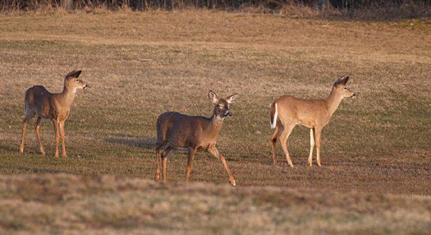 draw deadlines - deer in a field