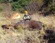"""Curtis Reid's 56 1/2"""" bull. This bull, along with a two-year-old cow and another 48 1/2"""" bull shot by Luke Burkette just north of Terrace Bay, ON, made for an exciting first week of rifle season for the whole hunting party, from Madoc and Bancroft."""