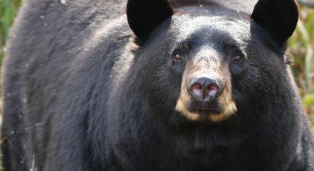 unwanted bear - black bear
