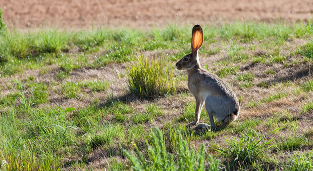 jackrabbit in the field
