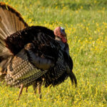 afternoon turkey in field