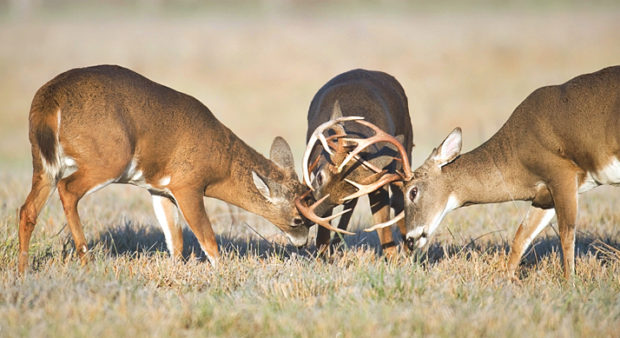 noise - Three whitetail bucks fighting in a field