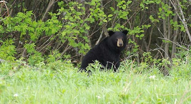 spring hunt  - black bear in field