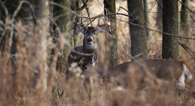 a buck standing in the woods