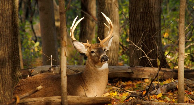 How do whitetail deer typically behave?