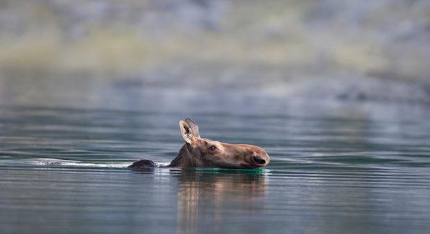 swimming moose - a moose swimming in a lake