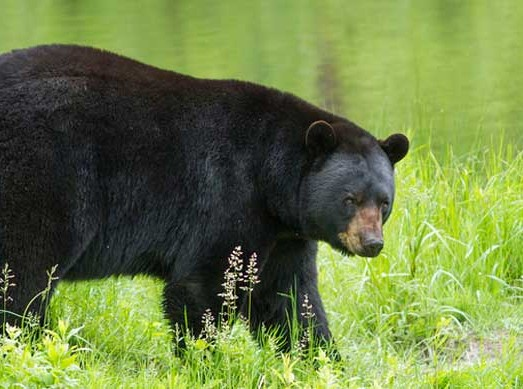 a black bear in a field