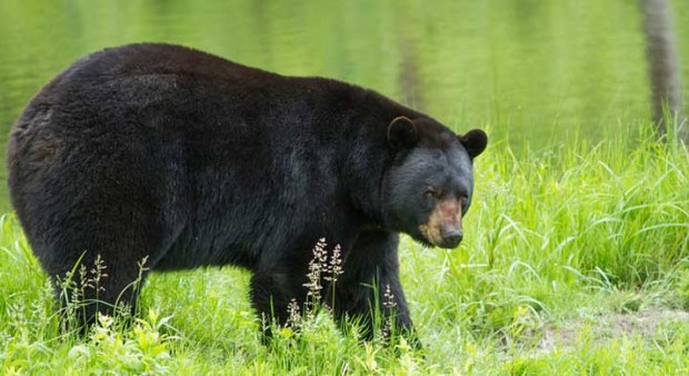 a black bear in a field