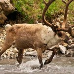 caribou walking in water