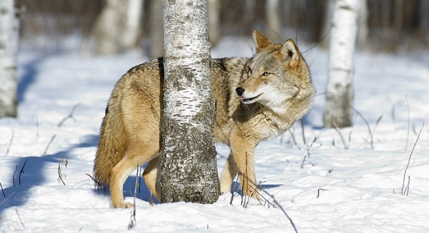 Northern Ontario residents waiting to learn if limit on coyote hunting will be lifted