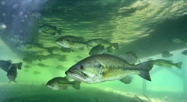 summer - bass underwater