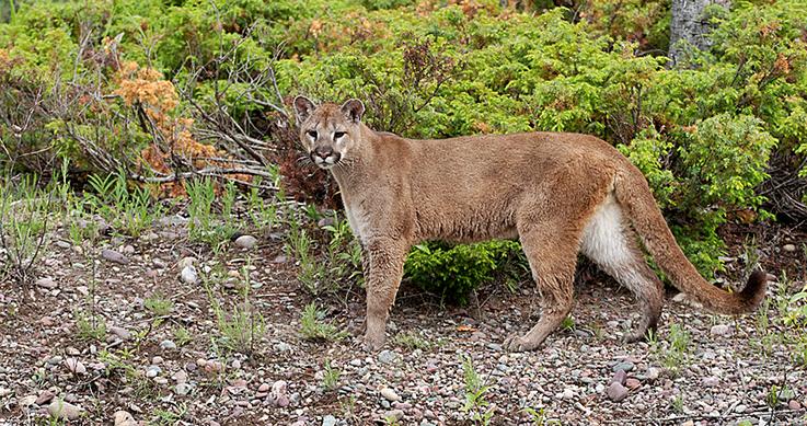 Ontario cougar
