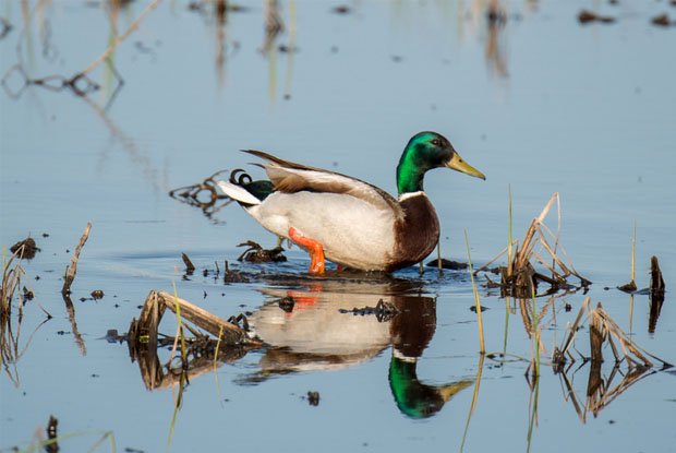 duck sighting
