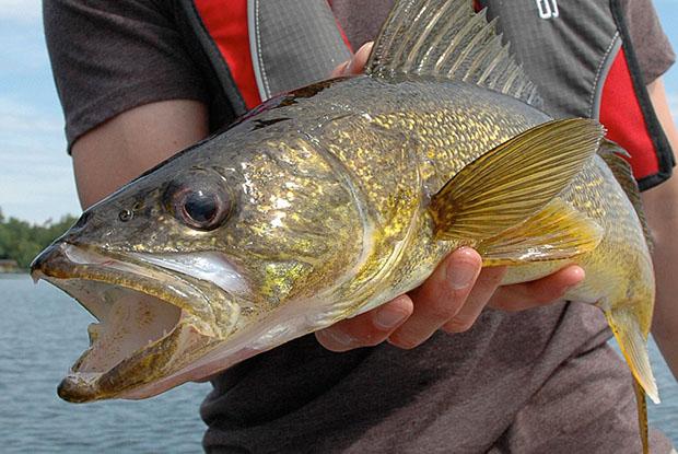 Fishing walleye
