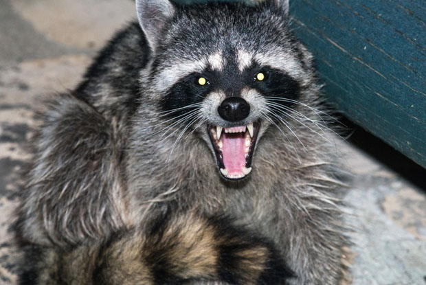 Ontario sees first rabies raccoon case in a decade
