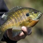 a man holding a sunfish