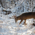 January - deer-in-woods-snow