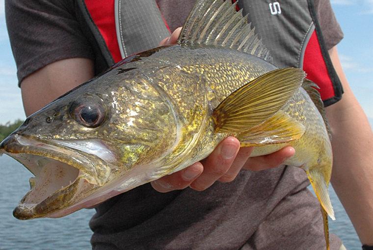 fat walleye