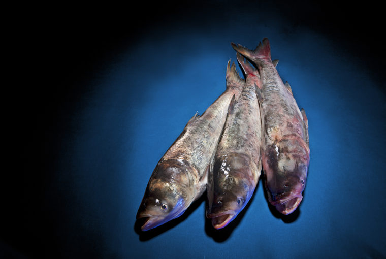 reproduced - asian carp defence - asian carp - three fish on a blue table