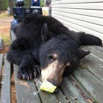 Jim Wheeler shot this bear on May 17 near Sault Ste Marie. This was his first big game harvest. In loving memory of a friend and fellow hunter- Alphonse Gignac who was killed in an ATV accident while bear hunting May 8, 2014 at Crystal Falls.