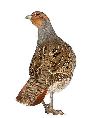 forgotten game bird - Hungarian-partridge