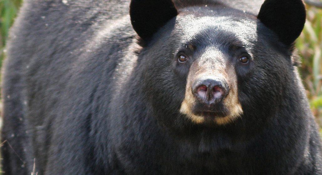 markham - bear attacked - unwanted bear - sudbury area - Barker's - black bear