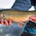 winter brook trout