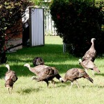 Caroline Cameron of London sent this one in. She said there were seven wild turkeys crossing lawn after lawn in her city neighbourhood.