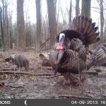 Keith Morrison spotted these nice gobblers on his trail camera while scouting for spring turkey.