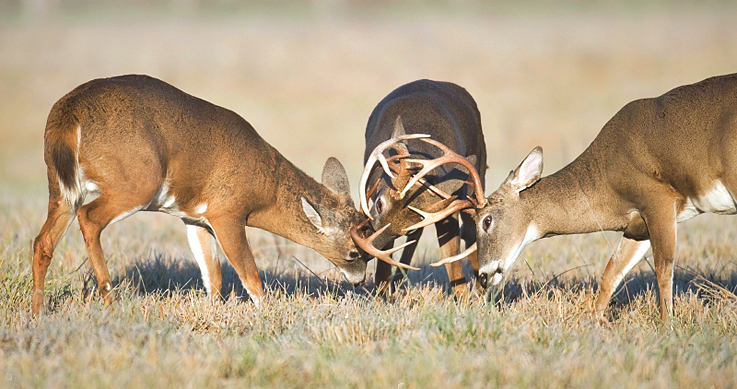 Three whitetail bucks fighting in a field