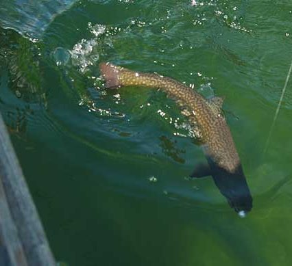 summer trout - trout swimming in the water
