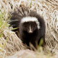 distemper - a skunk