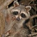 raccoon in tree