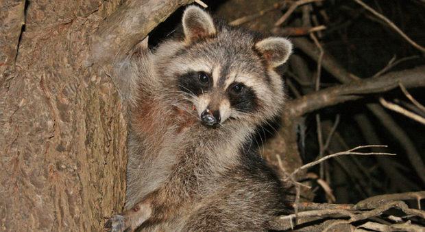 raccoon hunters - raccoon in tree