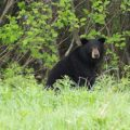 woman - OFAH reaction - animal rights groups - spring bear hunt deadline - black bear in field