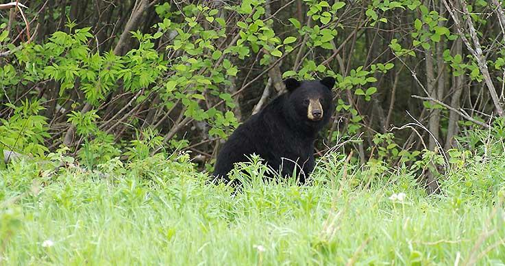 spring bear hunt deadline - black bear in field