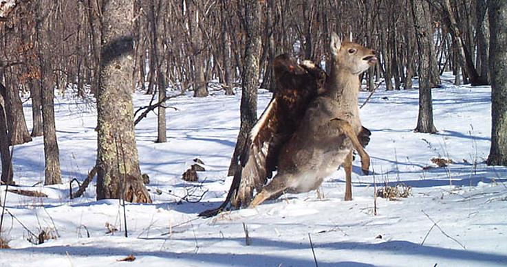 golden eagle attacking a deer