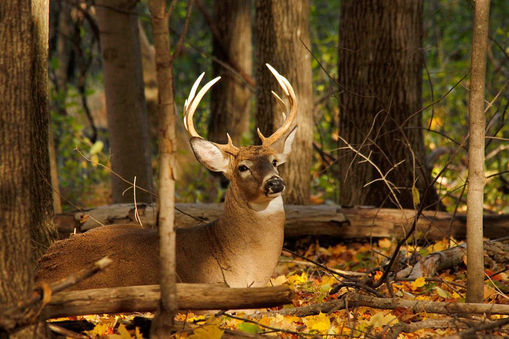 hot weather whitetails - buck laying in the woods