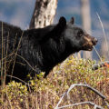 bear action - bear attack - Spring bear hunt revisited - animal - spring bear hunt confirmed - bear management pilot program - an alert bear