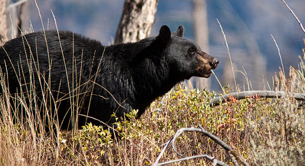 Spring bear hunt revisited - an alert bear