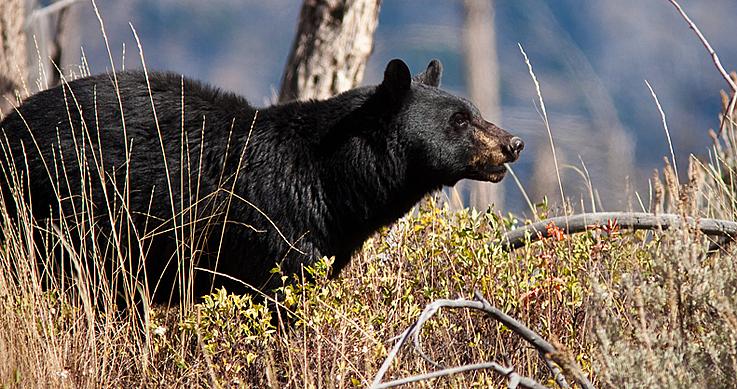 bear management pilot program - an alert bear