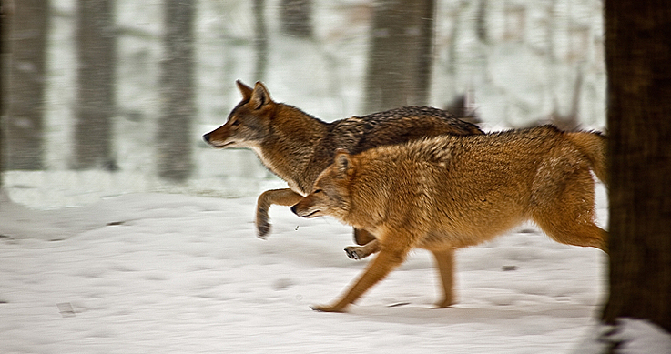 coyotes found - two coyotes