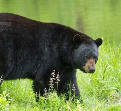 spring bear hunt pilot - oilsands - spring bear hunt open - a black bear in a field