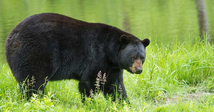 spring bear hunt pilot - oilsands - spring bear hunt open - a black bear in a field