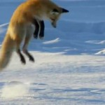 a red fox jumping