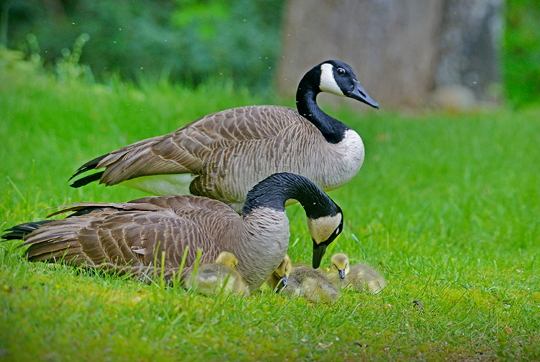 ducks unlimited - geese