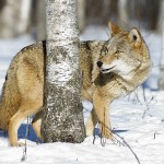 Residents in northern Ontario waiting to learn whether a limit on coyote hunting will be lifted