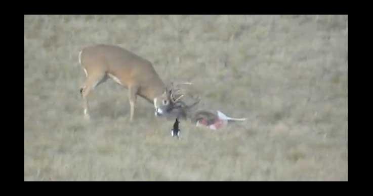 hunters rescue deer - A deer in distress
